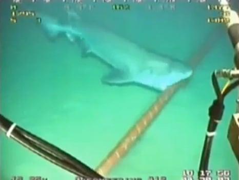 Attaque d'un câble sous-marin par un requin